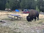 A Buffalo wandered into the campsite next to ours at Yellowstone.  Later two bull elk decided to lock horns and tussle on the same ground.  Quite an...