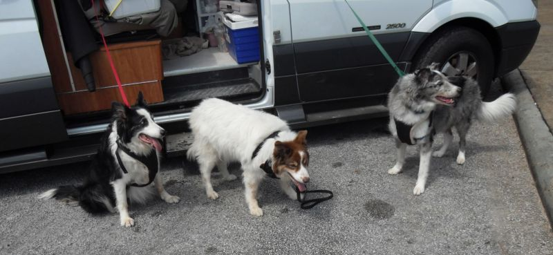 The arrveedogz stretching their legs on the drive from Nashville to Tupelo, Miss.  Cindy is the white/red Border Collie and is definitely in charge, Pepper is the black and white BC, Pete is a gray BC/Aussie mix.